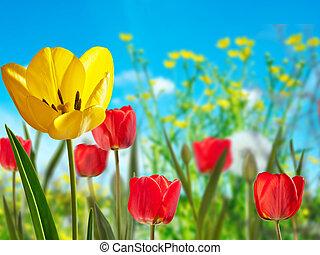 鬱金香, 草地, 黃色, 紅色