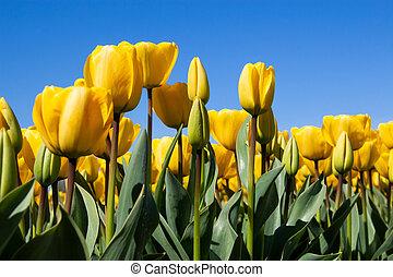 鬱金香, 黃色