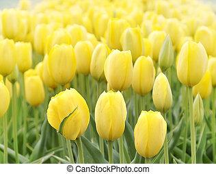 鬱金香, 黃色, 領域