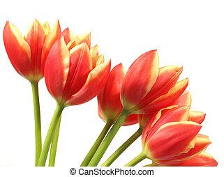 鬱金香, -, tulipa, gesneriana