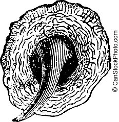 魚スケール, 型, engraving.