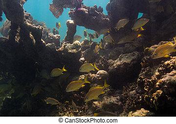 魚 學校, 在, 珊瑚礁