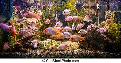 魚, 淡水, ttropical, 水族館