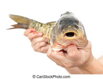 鯉魚, 在, 手, a, 白色 背景
