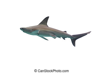 鯊魚, 白色 背景, 被隔离