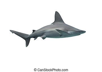 鯊魚, 被隔离, 在懷特上, 背景