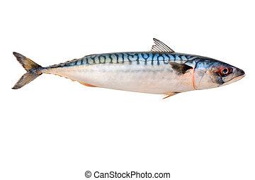 鯖魚, fish
