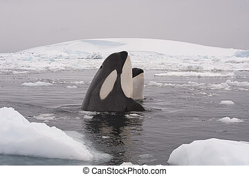 鯨, キラー, 2