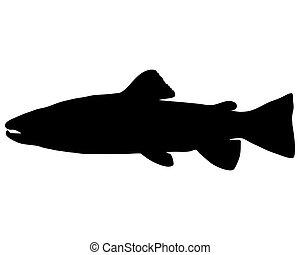 鲑属鱼类鱼, 布朗
