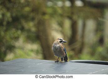 鳥, カケス