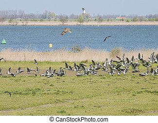 鳥, 戰鬥, 在空中, 由于, lapwings, 以及, kestrel