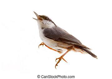鳥, 被隔离, 上, a, 白色, 背景。, nutcracker