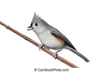鳥, 被隔离, 在懷特上