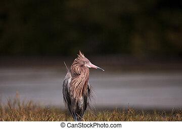 鳥, rufescens, 赤味がかった, egret, 渡ること, egretta