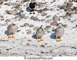 鴨子, 上, 雪, 在, 冬天