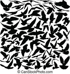 鴿子, 黑色半面畫像