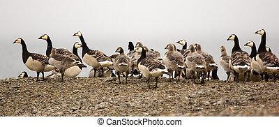 鵝, 托兒所, 在, the, 北極, 荒野