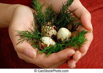 鵪鶉, 蛋, 3