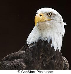 鷹, 禿頭, 向上關閉