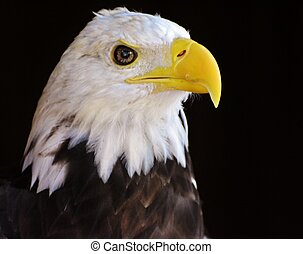 鷹, 禿頭, 成人
