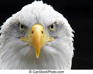 鷹, 禿頭