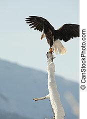 鷹, 禿頭, (haliaeetus, leucocephalus)