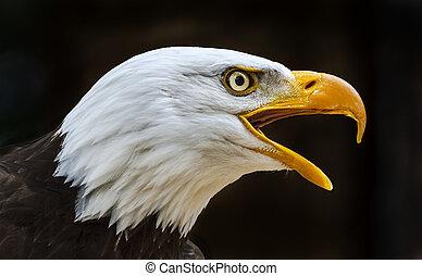 鷹, 禿頭, leucocephalus, haliaeetus