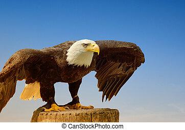 鷹, 美國人, 海