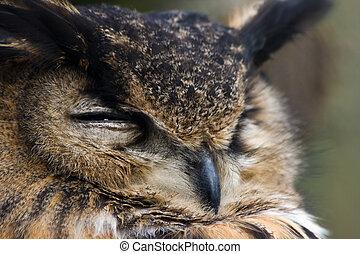 鷹, 老, 貓頭鷹, 注意