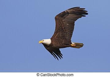 鷹, 飛行, 佛羅里達, 禿頭, -, 成人, gainesville