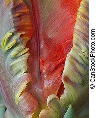鸚鵡郁金香