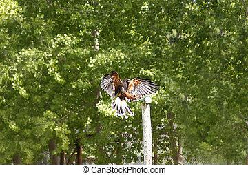 鹰, 飞行, 绿色的背景, 树