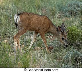 鹿, ラバ