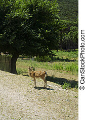 鹿, 女性, 妊娠した