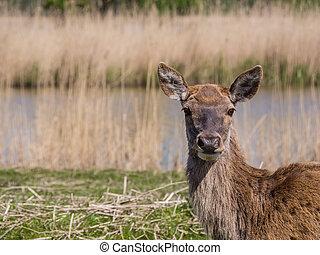 鹿, 女性, 赤