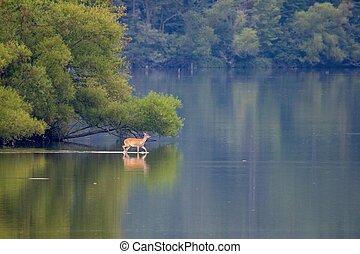 鹿, 湖, 被白种跟蹤