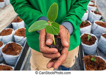 黃瓜, 秧苗, 上, 手, 農夫