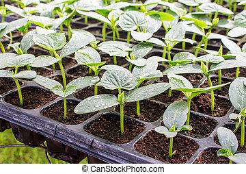 黃瓜, 秧苗, 上, 托盤, 在, greenhouse.