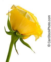 黃的玫瑰, 上, a, 白色, 背景。