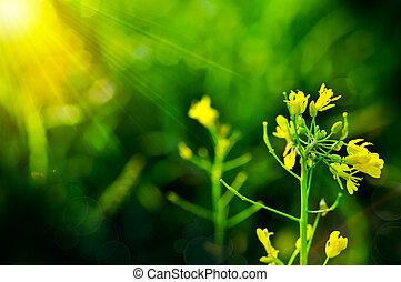 黃的花, ......的, bok choy, 總數, 在, 花園, 新鮮, 有机, 蔬菜, choi, 總數, 植物, 或者, 大白菜