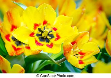黃色的郁金香