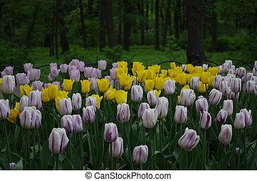 黃色, 以及, 粉紅色, 郁金香, 花, 領域