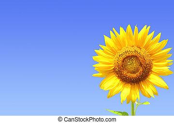 黃色, 向日葵, 上, 藍色的天空, 背景