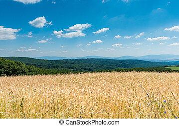 黃色, 成熟, 小麥