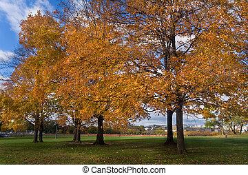 黃色, 橙, 秋天, 秋天, 樹, 華盛頓特區