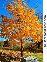 黃色, 秋天, 樹, 在期間, 秋天