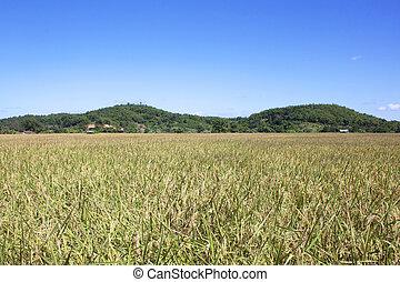 黃色, 稻田, 收穫, 季節