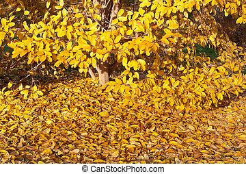 黃色 葉子, 流星, 木蘭樹, 在, 秋天