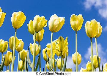 黃色, 鬱金香, 在上方, 藍色的天空, 背景。, 彈跳季節, 背景。