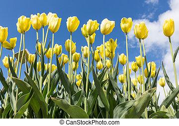 黃色, 鬱金香, 在上方, a, 藍色的天空, 背景。